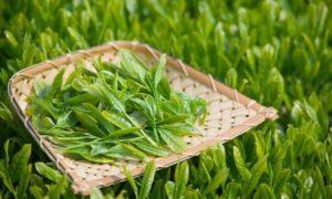 Ce nu stiai despre ceaiul verde